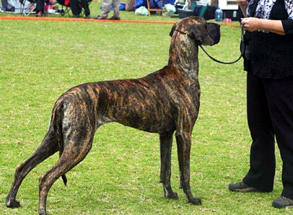 Caldygate Great Danes Kennel
