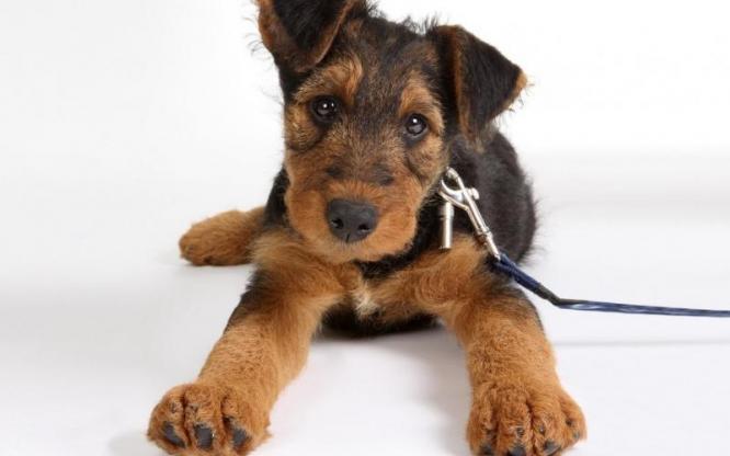 Kuriakos Airedale Terriers