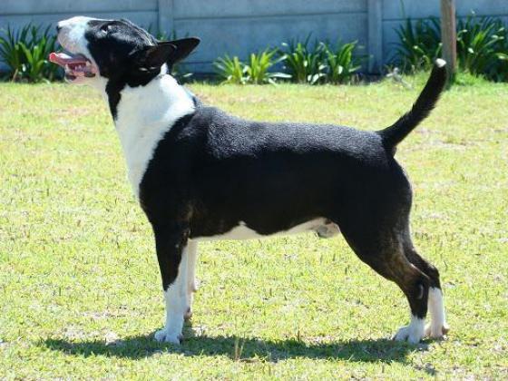 Lusahn Bull Terriers
