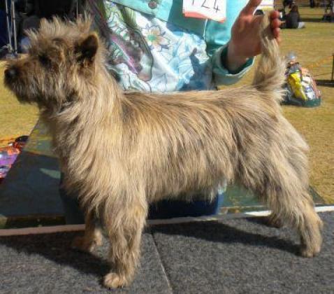 Malanowa Cairn Terriers