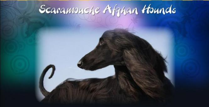 Scaramouche Afghan Hounds