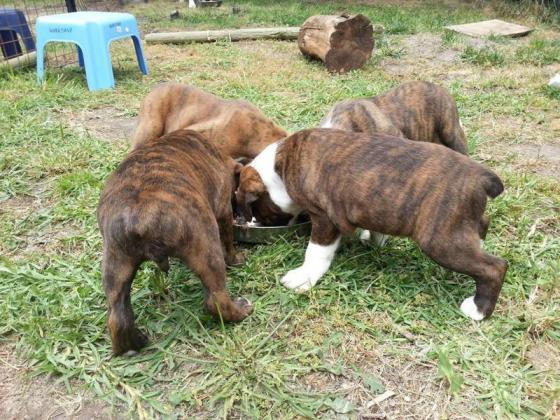 Tanyati Boxers