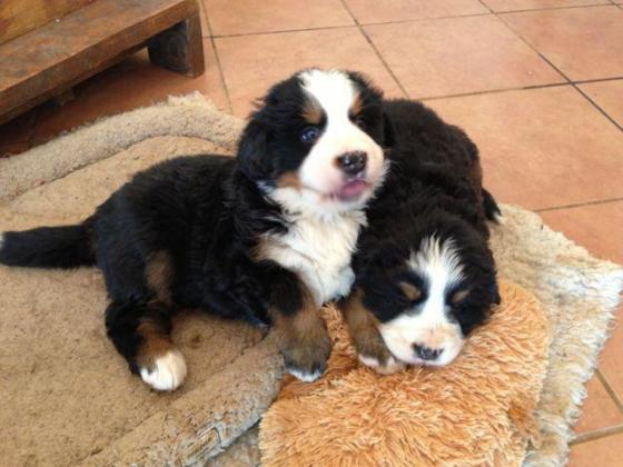 Teversal Bernese Mountain Dog