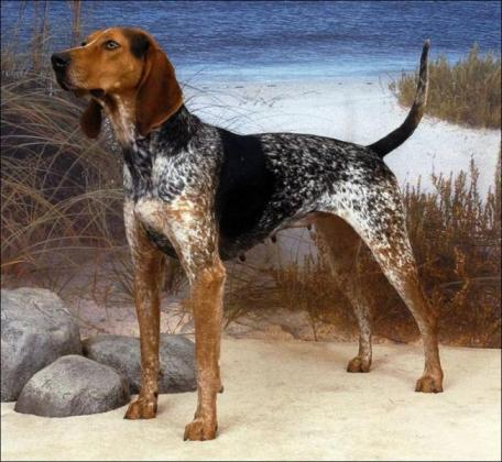 English Coonhound