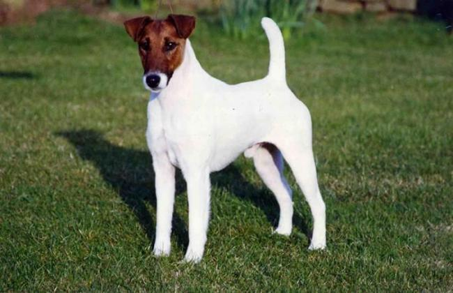 Fox Terrier Dog Breed
