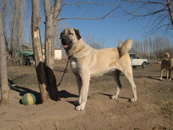 Kangal Dog Breed