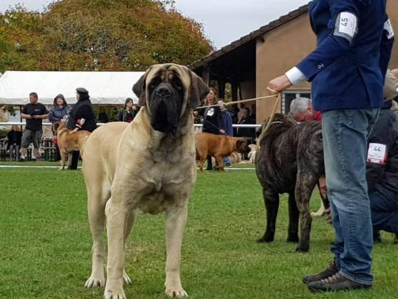 Mastiff Dog Breed