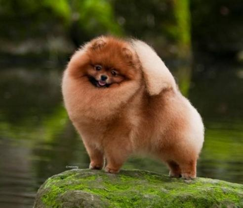 Pomeranian - Toy Pom Dog Breed