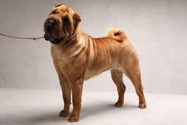 Shar Pei Dog Breed