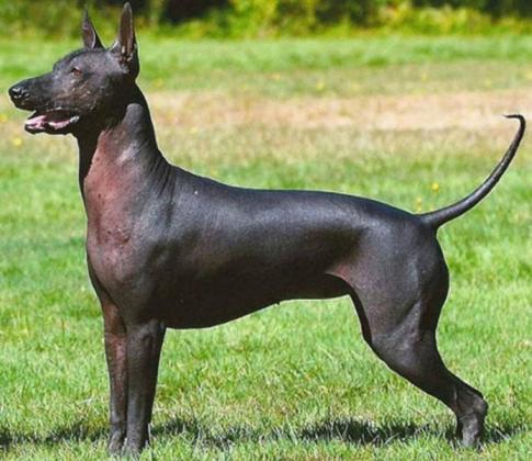 Xoloitzcuintli Dog Breed