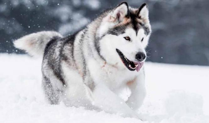 Alaskan Husky Dog Breed