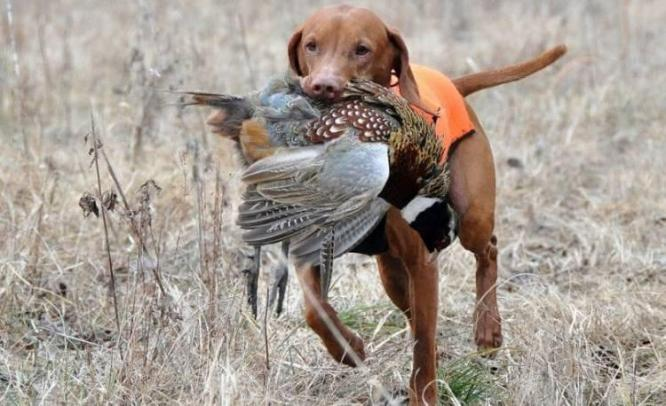 Hunting dogs as possible vectors for the infectious disease tularaemia