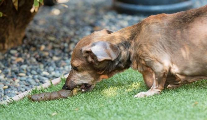 Dogs Eating Dog Poop | Dog Coprophagia