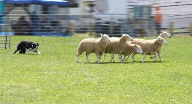 Sheepdogs use simple rules to herd sheep