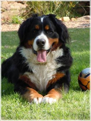 Von Proteaville Bernese Mountain Dogs
