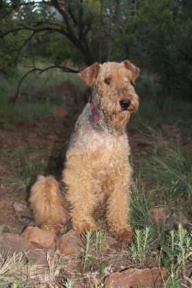 Willaire Airedales
