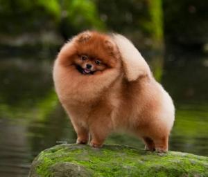 Pomeranian (Toy Pom)