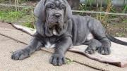 Hammanskraal Neapolitan Mastiff dog breeder denies animal cruelty claim