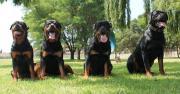 Von Bvlgari Rottweilers