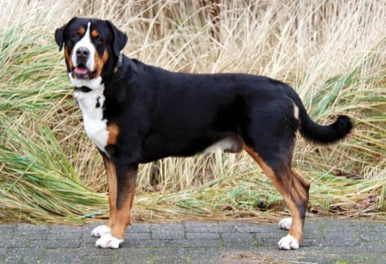 Greater Swiss Mountain Dog Breed Video