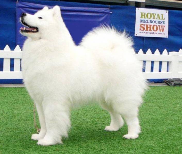 Samoyed Breed Dog Breeders