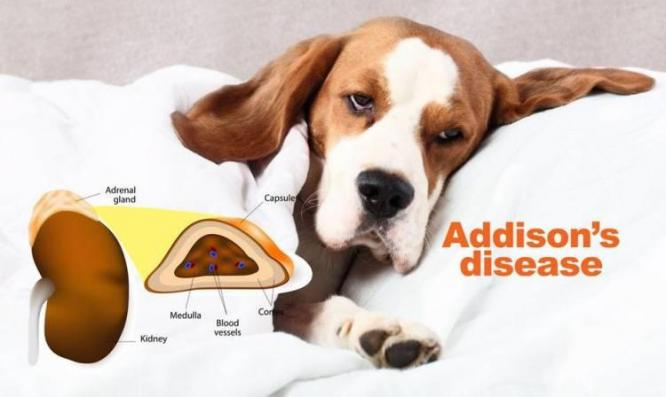 Canine Addisons Disease