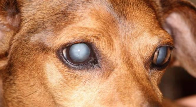 Eye Cataracts in Dogs