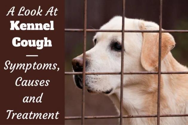 Kennel Cough, Symptoms, Treatment & Prevention
