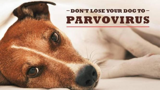 Canine Parvovirus Infection