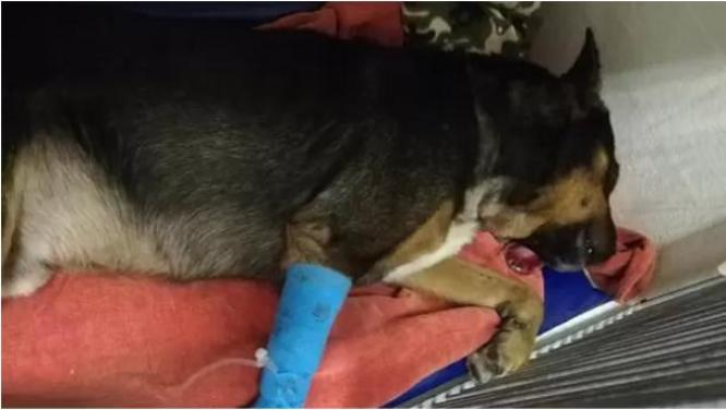 Dog in recovery after fire cracker explodes in its throat in Phoenix