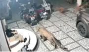 Leopard stalks and attacks sleeping dog