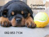 Rottweiler puppies for sale, kusa registered