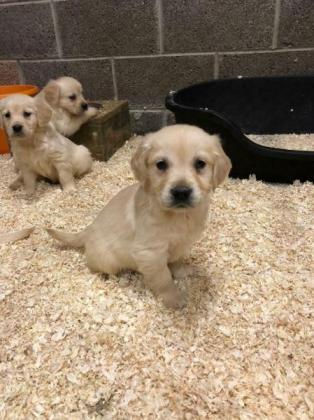 Exceptional Golden Retriever Puppies