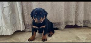 Pure Rottweiler puppies