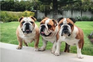 South Africa's 5 most expensive puppy breeds