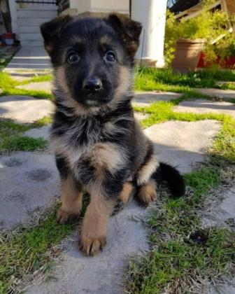 Registered and 100% healthy puppies for sale