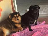 Pug male & Mix breed female Give away