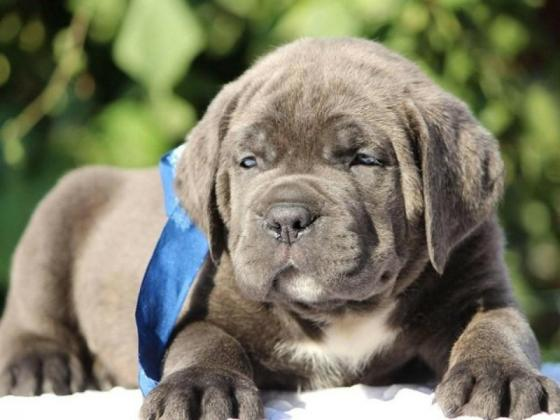 How much are Cane Corso Puppies?