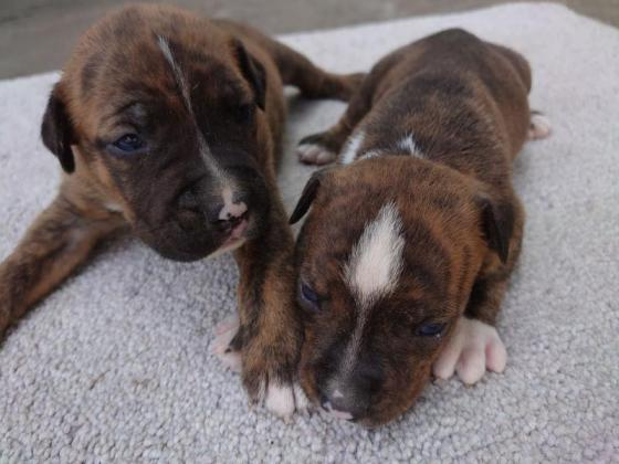 Solid Pit Bull Terrier Pups