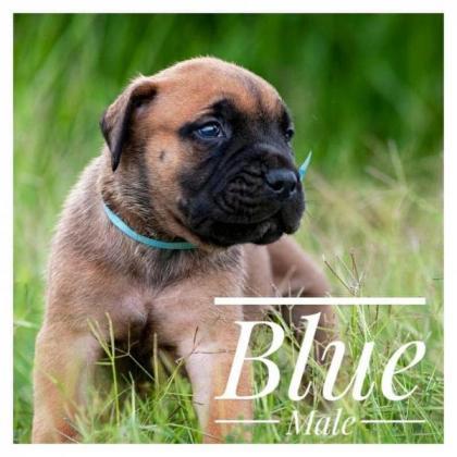 Torfreude KUSA registered Bullmastiff puppies