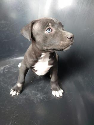 Rock Solid Pit Pups: Blue/Grey line + more!