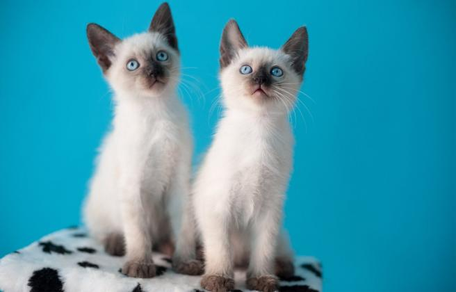 Beautiful males and females Siamese kittens for sale