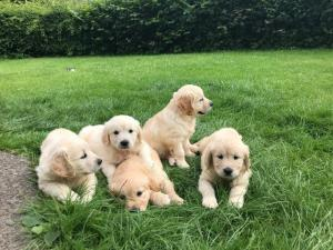 KUSA Registered Golden Retriever Puppies