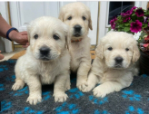 Purebred Golden Retriever Pups available