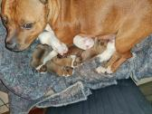 Beautiful Staffordshire Puppies For Sale